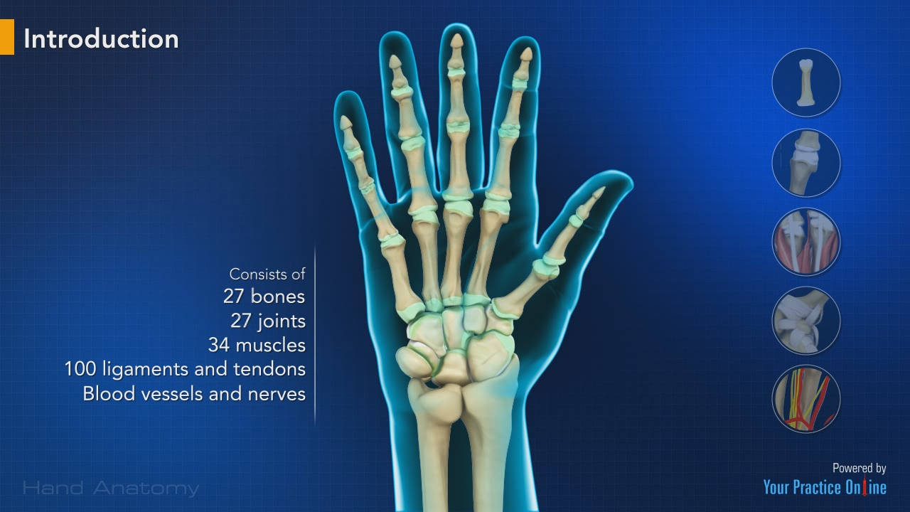 Hand Anatomy | Hand & Wrist Orthopaedics Videos | Your Practice ...