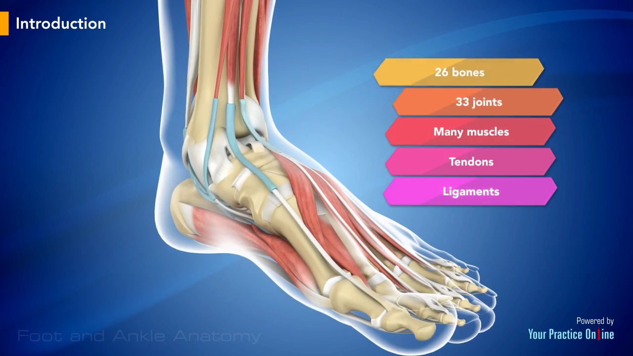 Anatomy of the ankle and foot